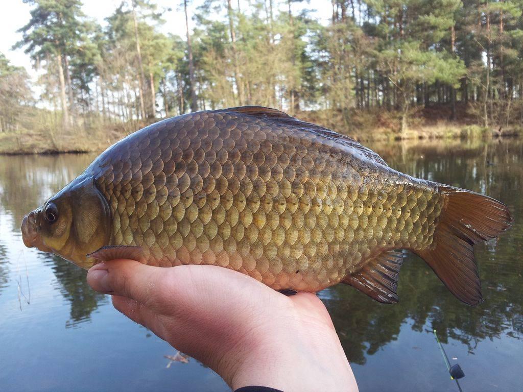 Pescuit La Caras Primavara - Gasirea Carasilor Si Nadirea Lor